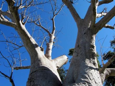baobab-895121_1280