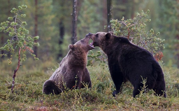 2-brown-bears-2